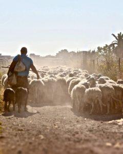 Shepherd herding flock- The Breakfast Book Club